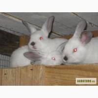 Продаются кролики породы Калифорнийская.