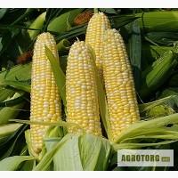 Продам насіння кукурудзи: НС-2014, НС-101, НС-300(г. Нови Сад (Сербия)