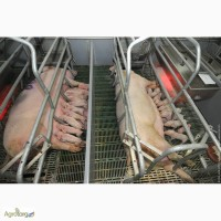 Гибриды мясных поросят