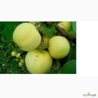 Продам яблоки Снежный Кальвиль