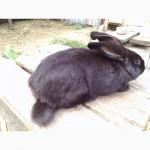 Активная продажа кроликов Немецкий пестрый великан Строкач