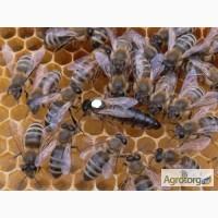 Привезу пчелопакеты