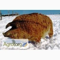 Закупаем свиней живым весом на забой
