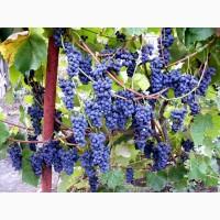 Продам виноград КУДЕРЕК. (Кудрик) на виноделие
