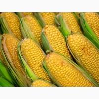 Закупаем зерновые культуры кукурузу и др. любого качества