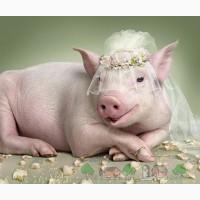 Искусственное осеменение свиней на дому