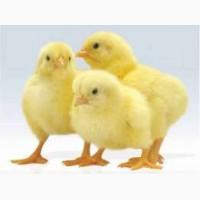 Цыпленок : Испанка, Реедбро, Мастер Грей, Бройлер, Полтавская обл