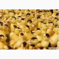 Цыплята бройлер, испанка, редбро, мастер грей, гриз бар, утка мулард