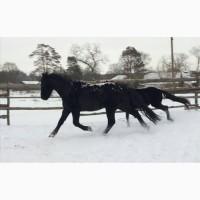 Продам коня полуфриз