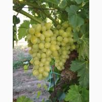 Продам виноград оптом в наличии сорта Аркадия и Кеша