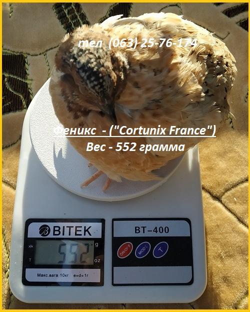 Фото 2. Яйца инкубационные перепела Феникс Золотистый - (France)