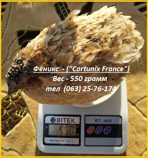 Фото 3. Яйца инкубационные перепела Феникс Золотистый - (France)