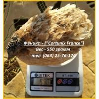 Яйца инкубационные перепела Феникс Золотистый - (France)