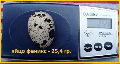 Фото 5. Яйца инкубационные перепела Феникс Золотистый - (France)