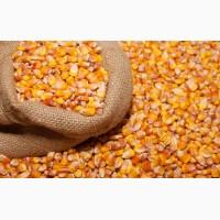 Закуповуємо кукурудзу в Сумах и області