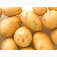 Картофель сорт Ривьера 1 репродукция, 3 кг, сетка