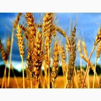 Пшениця (фураж, прод)