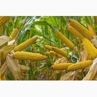 Кукуруза. Закупка. Вся Украина. Самовывоз