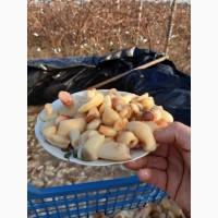 Продам грибы маслята соленые отварные