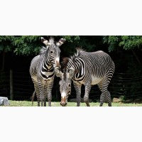 Дивовижна та енергійна смажена зебра на продаж