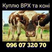 Куплю ВРХ та коні. Вінницькій, Хмельницькій, Черкаській та сусідніх областях