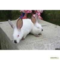 Кролики мясных и элитно-меховых пород