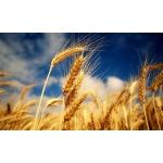 Закупаем кукурузу, горох, сою, семечку,просо,рапс, горчицу, лён, ячмень,пшеницу.