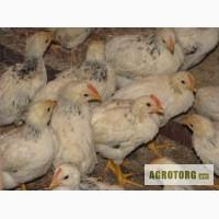 Продам курчата подрощенные Адлер серебристый
