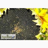 Украинское Солнышко ультраскороспелый гибрид подсолнечника
