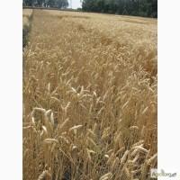 Семена пшеницы озимой - сорт Подолянка. 1 репродукция