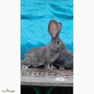Продам кролей великанов. Фландр, Ризен, Обер