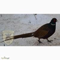 Продам фазана опт и розница