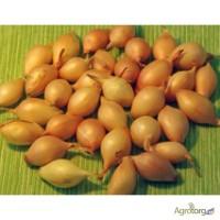 Продам Лук-севок Штутгарт для выгонки на перо. размеры от 3 до 5 см в диаметре
