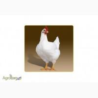 Суточные цыплята бройлер РОСС 708 с вакцинацией