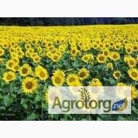 Продам посівний матеріал насіння соняшнику Дозор