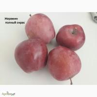 Продам яблоки.ОПТ. Голден/Декоста/Джонаголд/ Жерамин