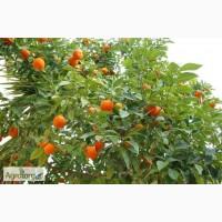 Продаю бизнес по выращиванию мандаринов в Абхазии