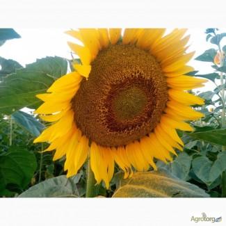 Семена Подсолнечник посевной Аракар под евролайтинг семена 2017