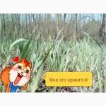 Продам Траву Зубровки и лек. сирье для ликьеро-водочной прмишленности