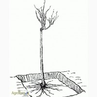Куплю саженцы шиповника