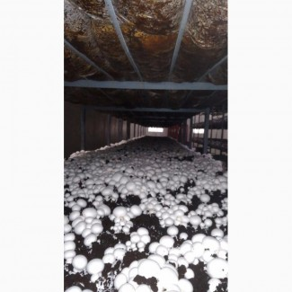 Продам грибы шампиньоны, 1500 кг, Житомирская обл