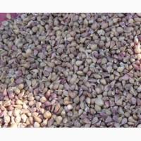 Семена воздушка озимого чеснока сорт Любаша, чеснок высокой калибровки