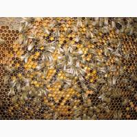 Реалізовує бджолопакети карпатської породи високої якості