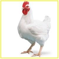 Продам яйцо Росс 308, інкубаційні яйця. Инкубация