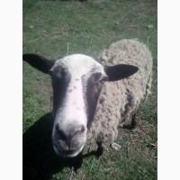Овца Романовская