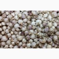 Без доп. платежей| Купить чеснок в Днепре от производителя + на посадку |2018 года урожай