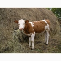 Продам бычков 150-250 кг