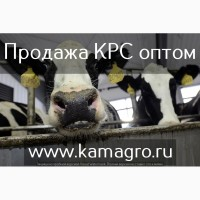 Продажа племенных пород КРС молочного направления по Казахстану и СНГ