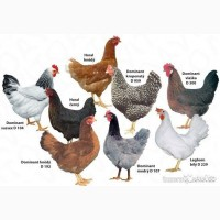 Продам суточных цыплят Доминанта