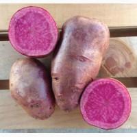 Насіннева картопля сорт Хортиця (червона) з кольоровою м#039;якоттю